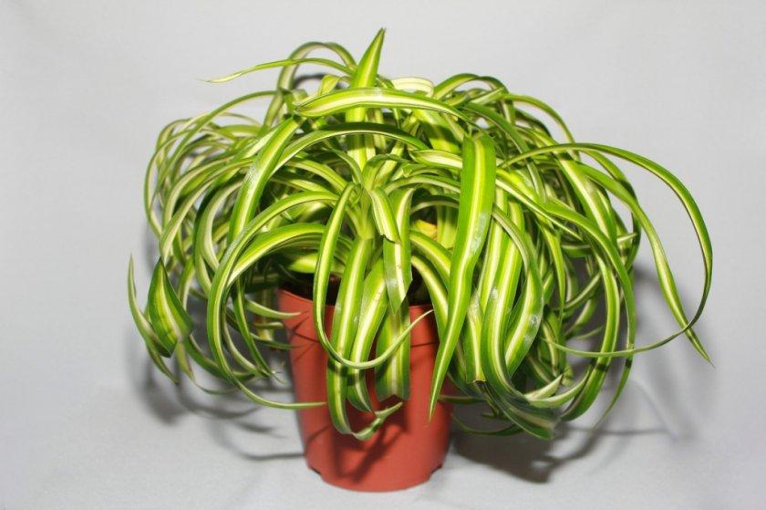 Хлорофитум Mandaianum