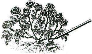 Рыхление роз