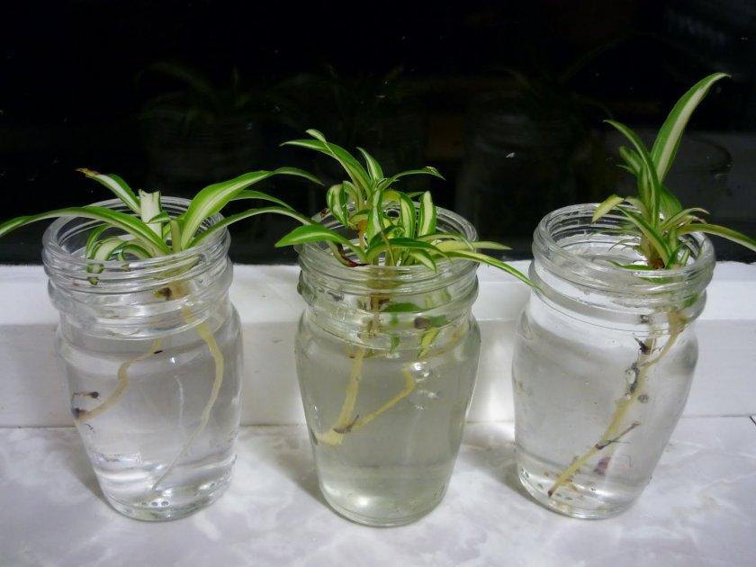Размножение хлорофитума детками