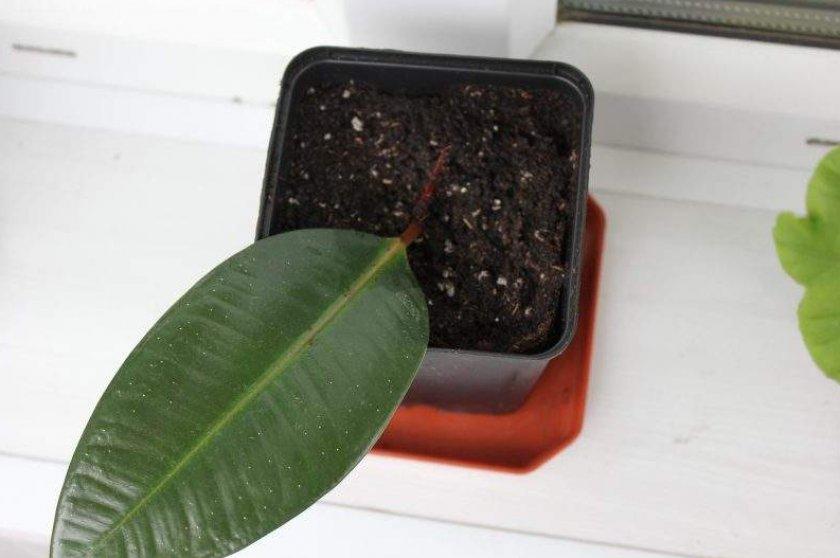 Размножение фикуса из листка