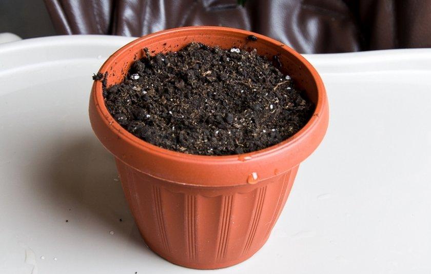Размножение фикуса семенами