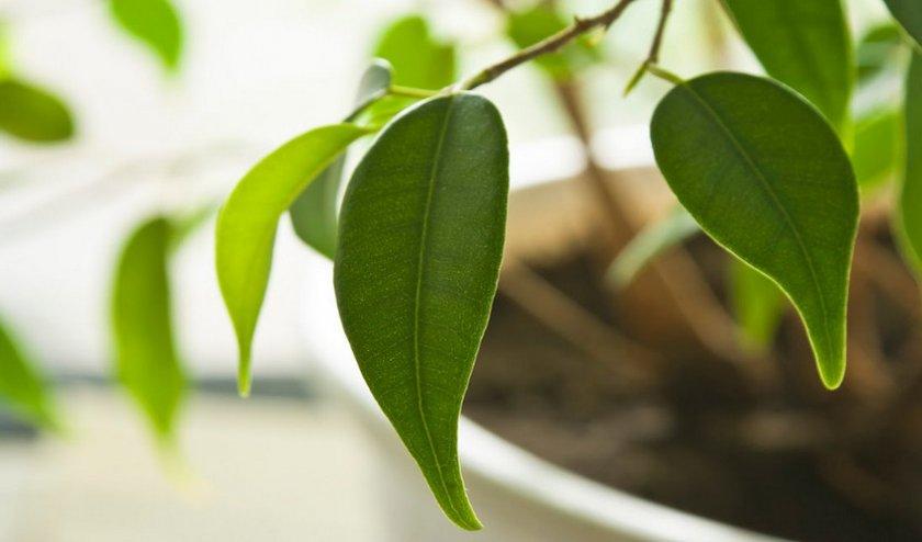 Почему желтеют листья фикуса Бенджамина