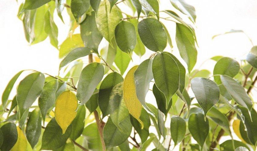 Желтеют листья фикуса Бенджамина