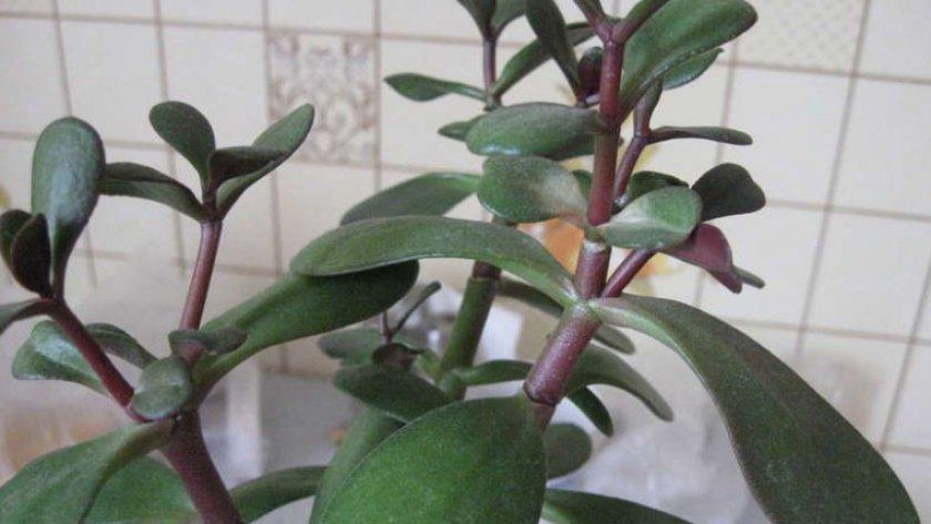 Мягкие листья у толстянки