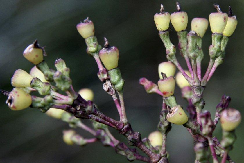 Hatiora cylindrica Britton & Rose