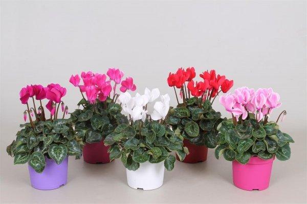 Цикламен персидский 36 фото уход в домашних условиях после покупки В чем отличия от европейского цикламена Выращивание цветка из семян Сорта Виктория и Барбаросса