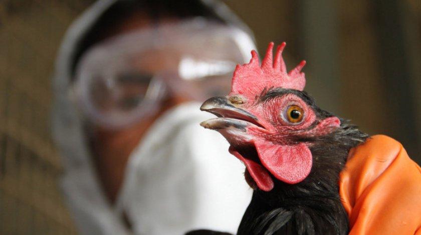 Курица и ветеринар