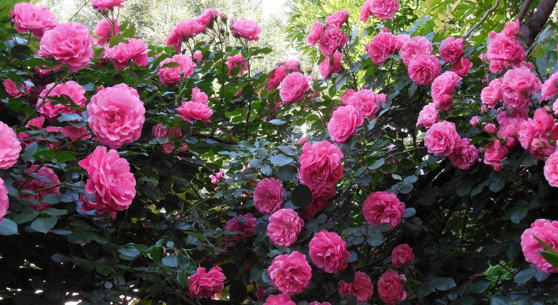 роза парковая розовая фото и описание назван так
