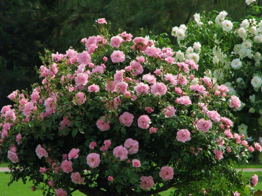 Сроки для посадки парковых роз