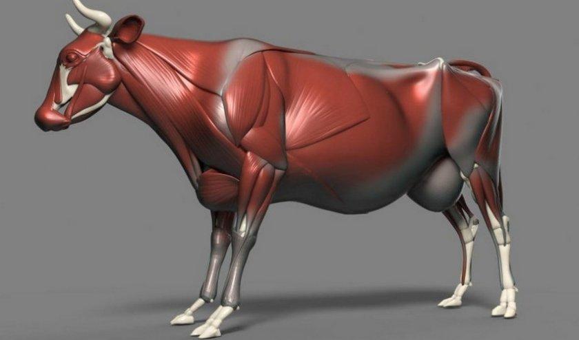 Мышечная система коровы