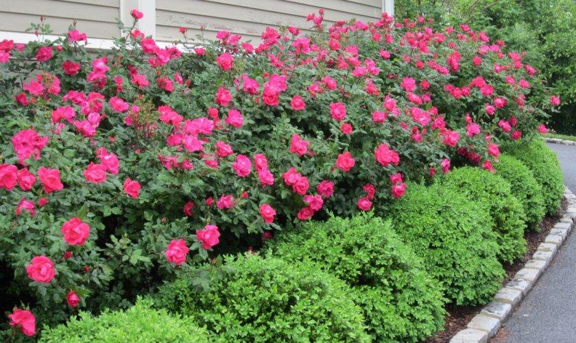 Месторасположение парковых роз