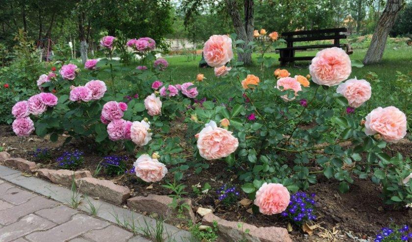Пересадка роз