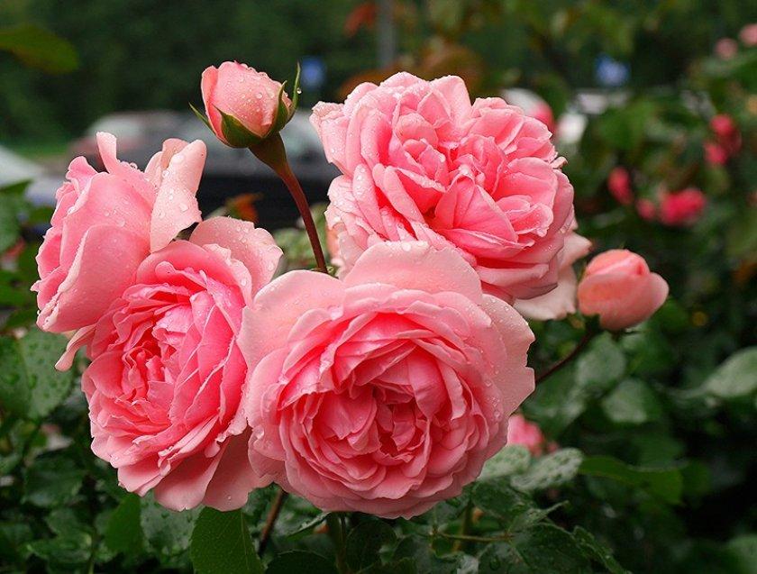 Полив и подкормки парковых роз