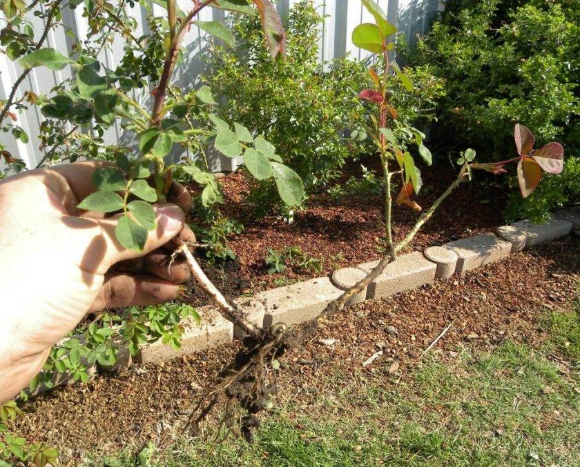 Размножение парковых роз делением куста