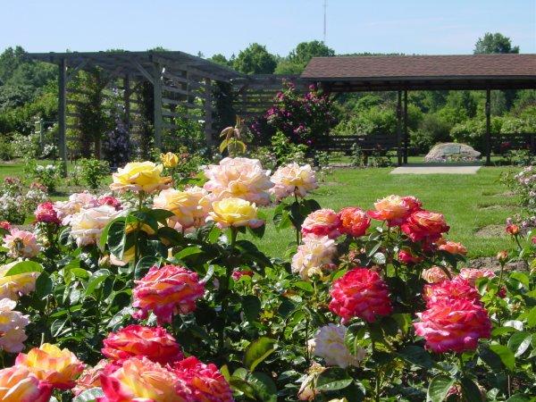 Посадка роз осенью: когда сажать
