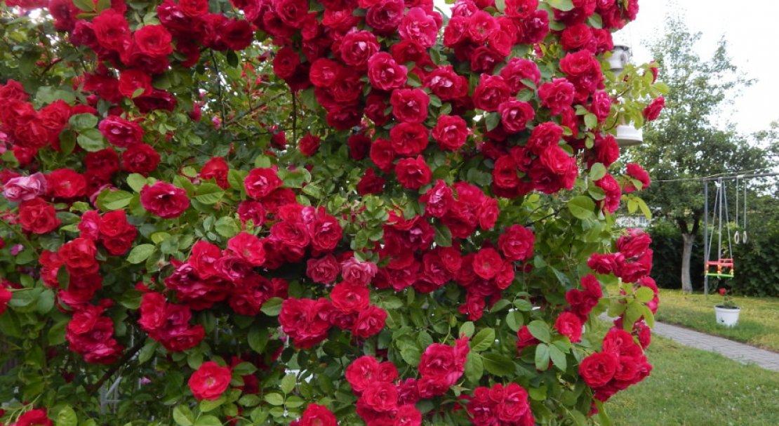 Роза плетистая сорта описание фото