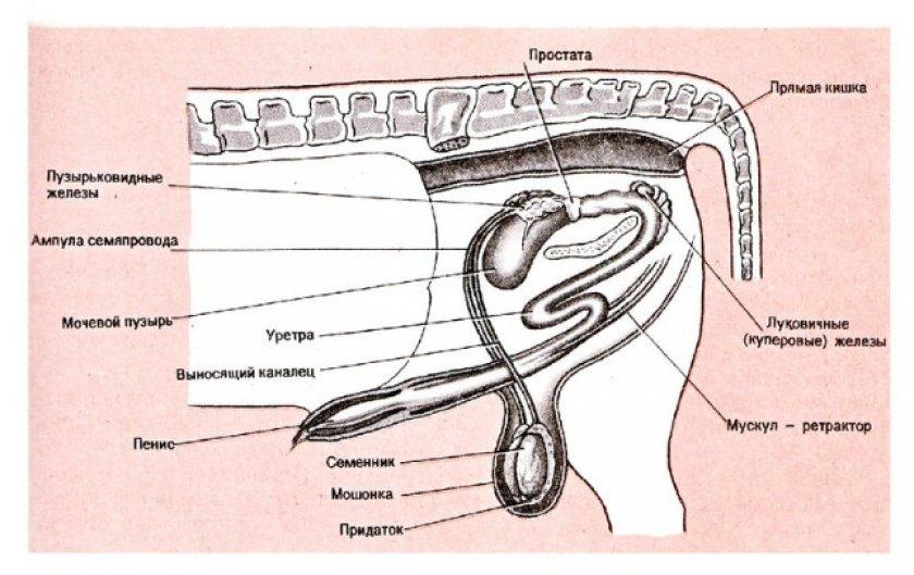 Половые органы самца