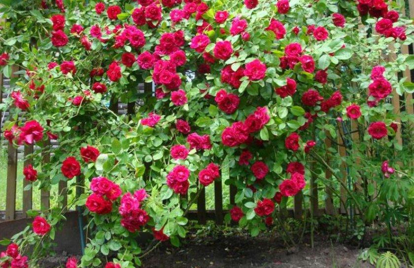 Роза сорта фламентанц