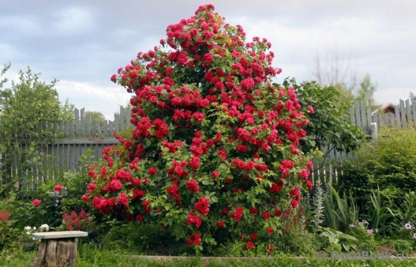 Обрезка куста роз