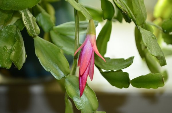 Как поливать декабрист во время цветения
