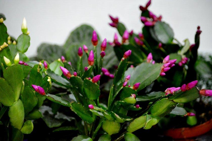 Бутоны цветков на рождественнике
