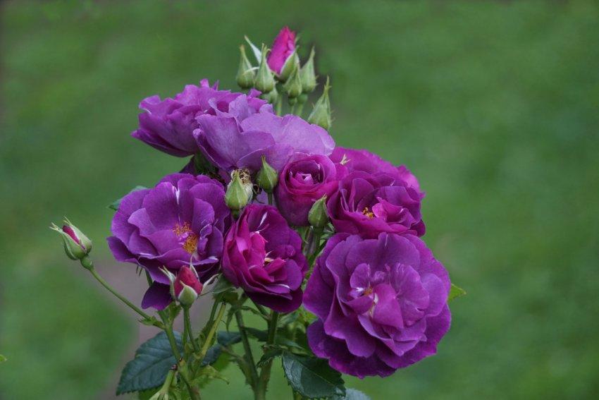 Роза Rhapsody in Blue
