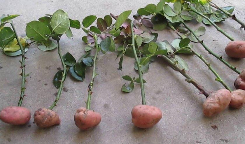 В картофеле