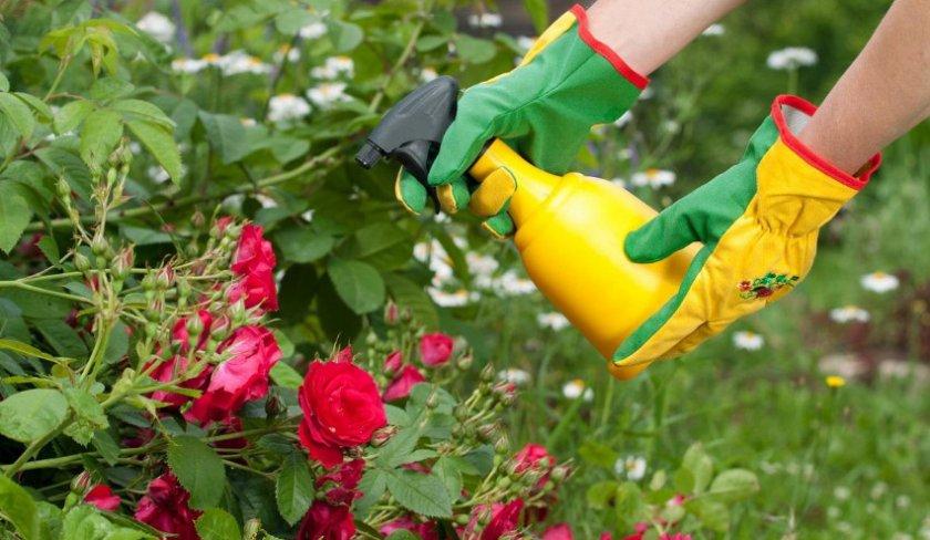 Опрыскивание роз