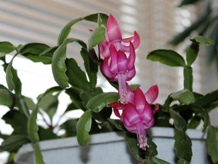 Уход за декабристом во время цветения