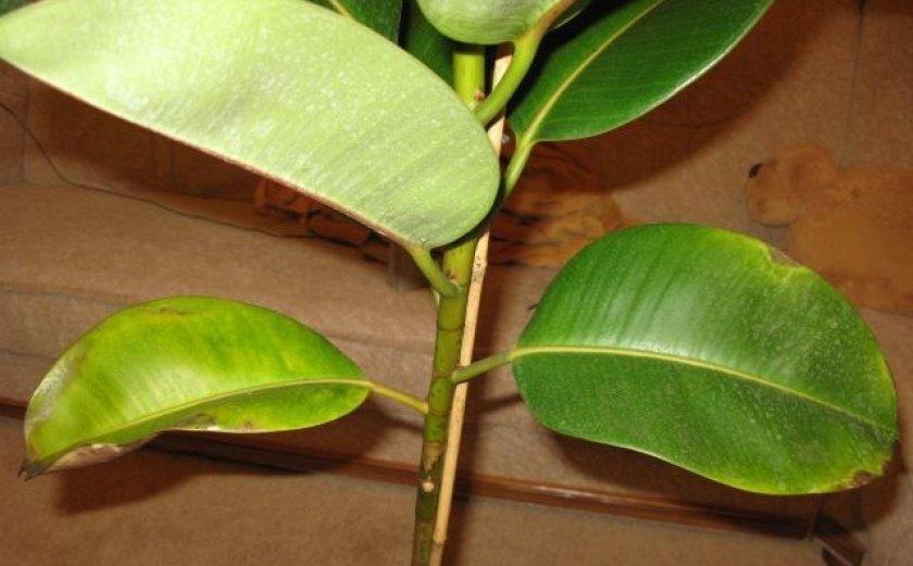 У фикуса робусты пожелтели листья