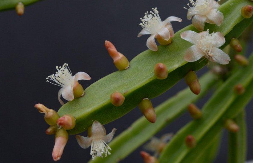 Hatiora pentaptera