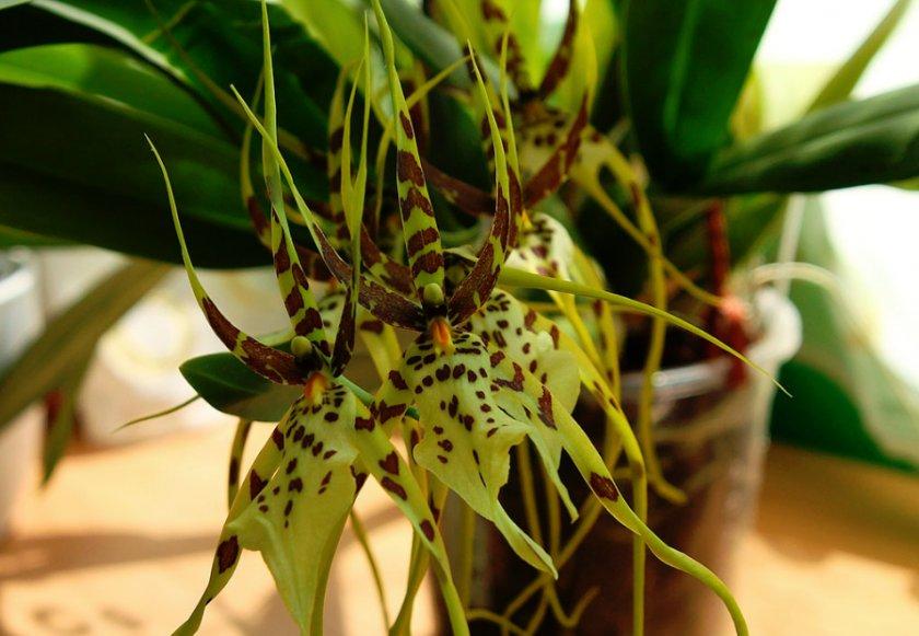 Орхидея Брасия