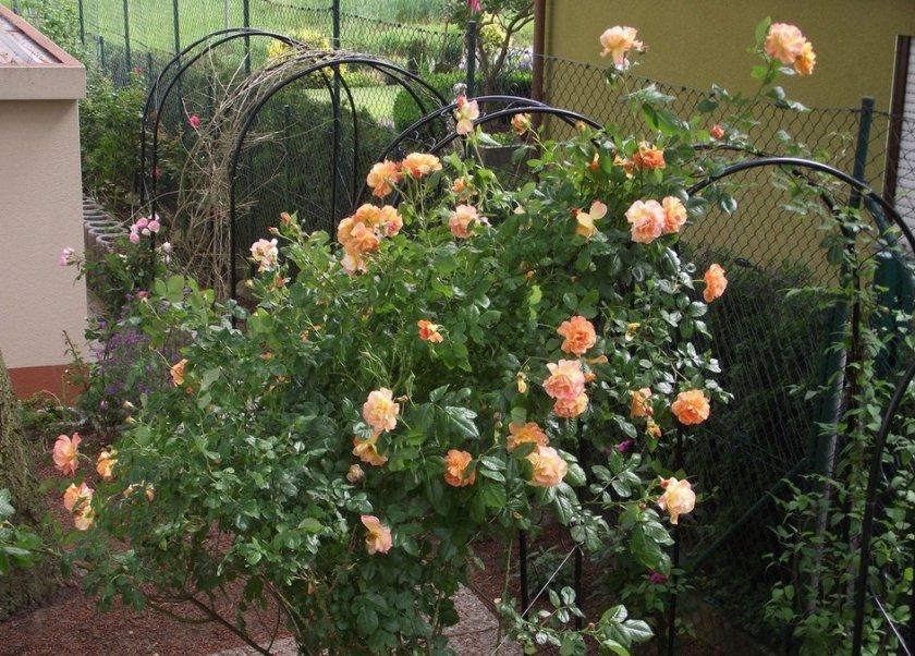 Выбор места для розы вестерленд