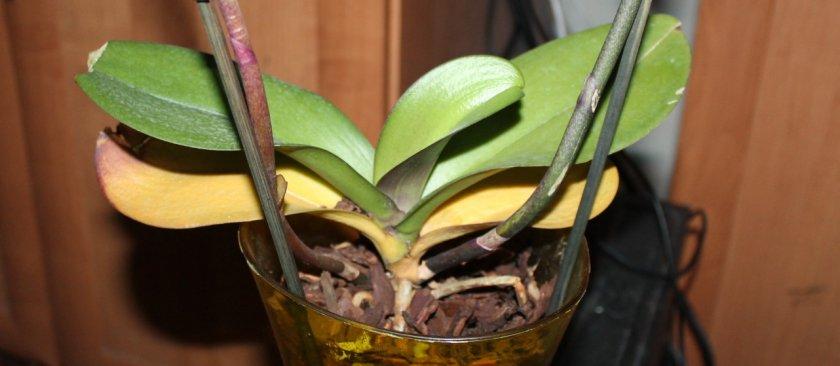 Желтеют листья у фаленопсиса