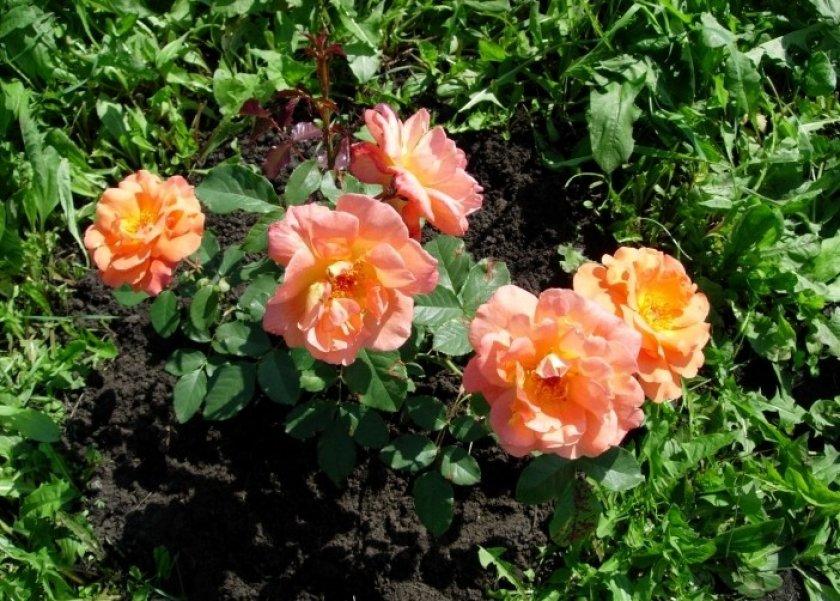 Прополка роз