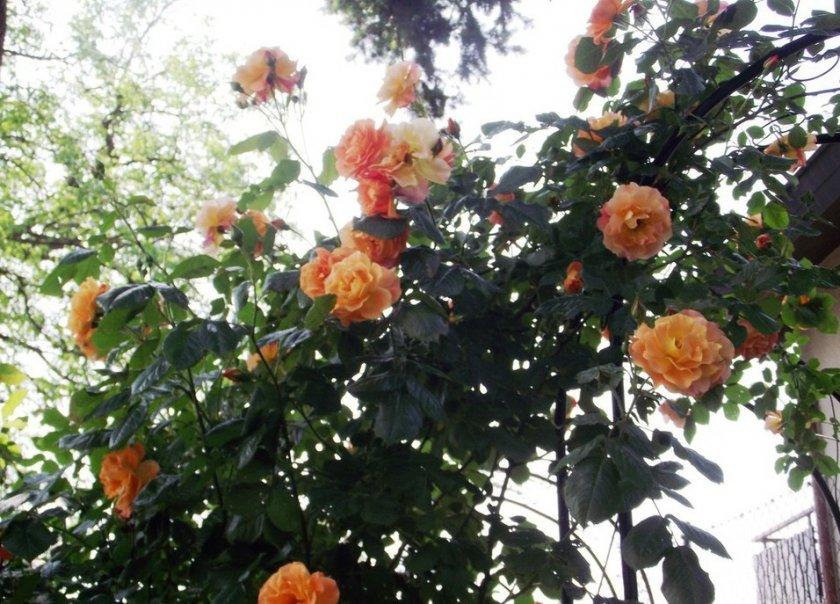 Розы вестерленд