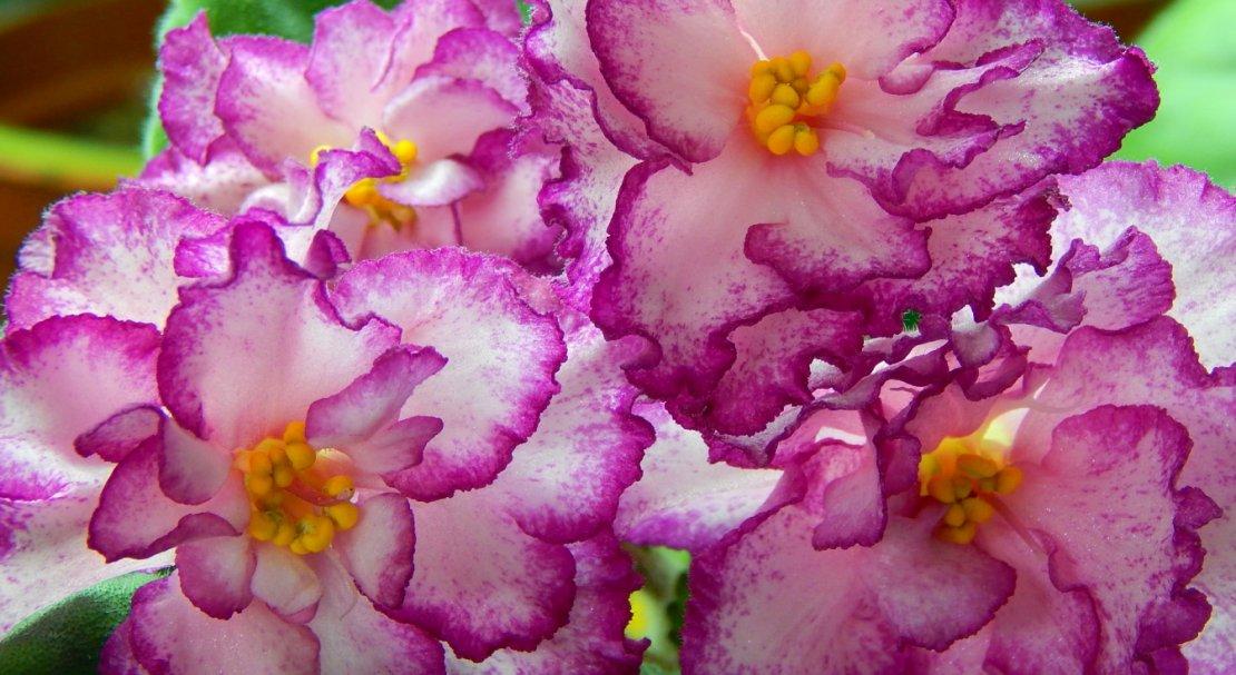 Фиалка розовая сказка фото и описание