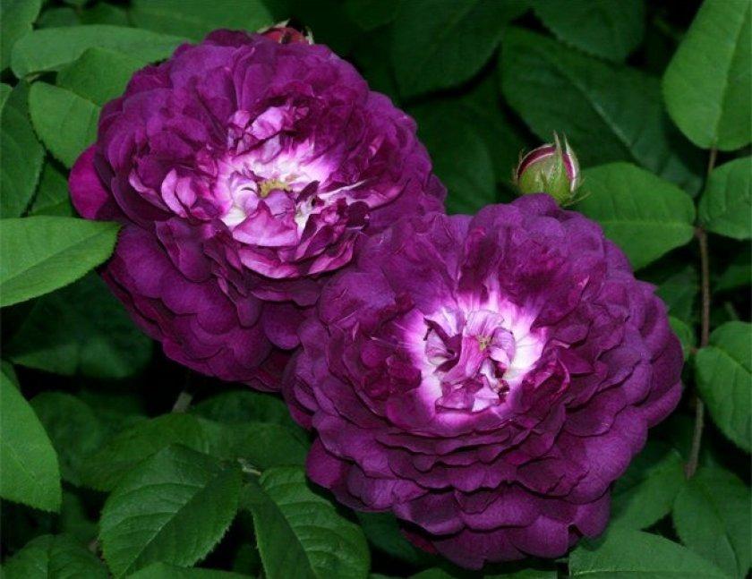 Розы Cardinal de Richeliau