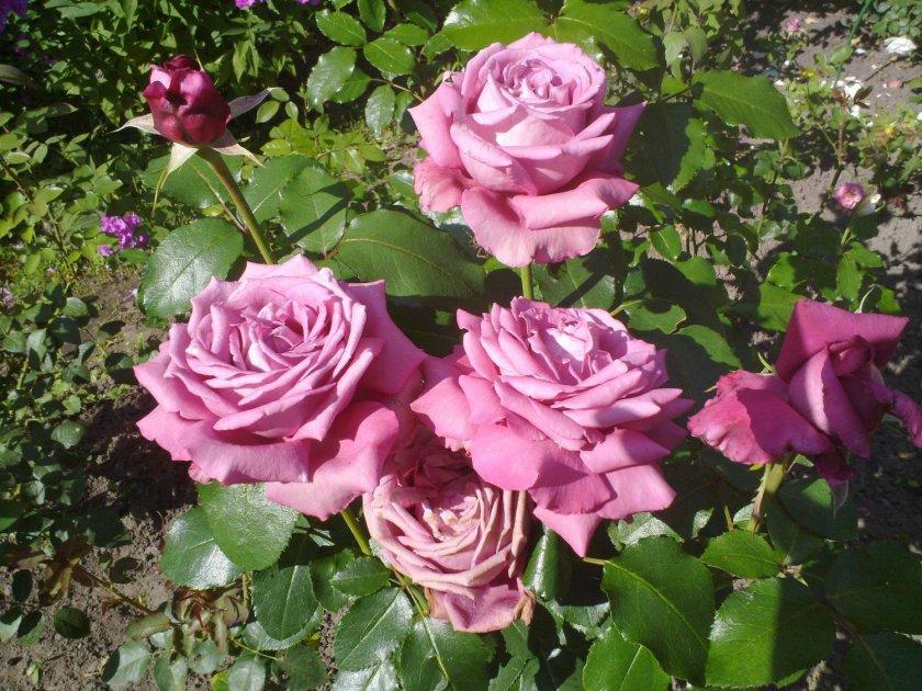 Розы Claude Brasseur