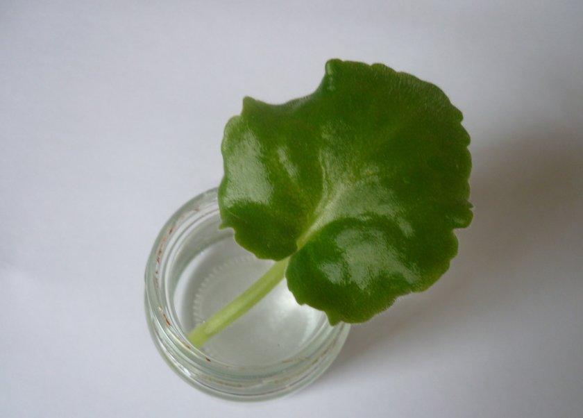 Размножение из листочка