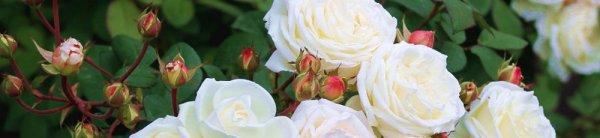 Как укоренить розу осенью в домашних условиях