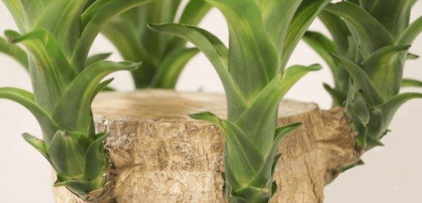 Как правильно обрезать юкку? Обрезка ствола юкки в домашних условиях пошагово. Как обрезать юкку для ветвления и получения боковых побегов? Уход за юккой и ее формирование