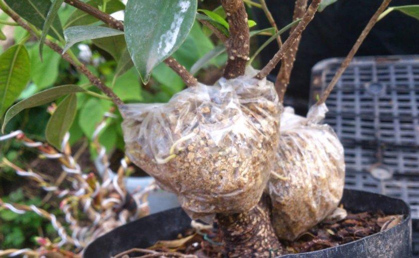 Размножение фикуса воздушными отводками
