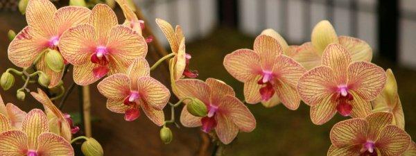 Правильная пересадка орхидеи фаленопсис после покупки: как и когда можно?