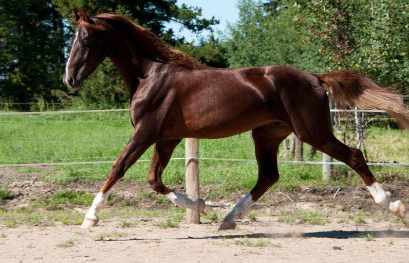 Амереканская лошадь
