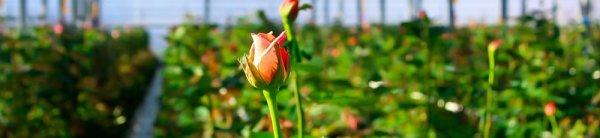 У комнатной розы опадают и желтеют листья: что делать, причины