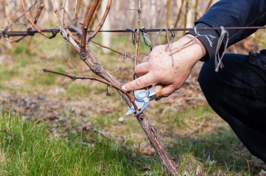 Обрезка пятилетнего винограда