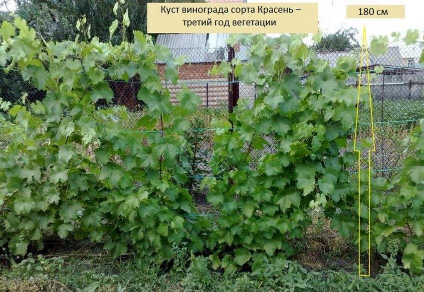 Уход за виноградом на третий год