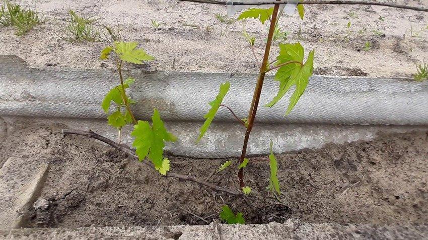Однолетний виноград