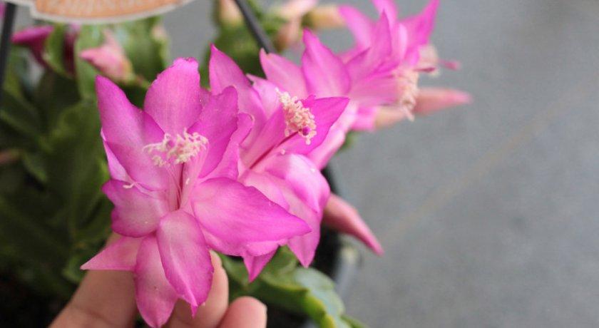 Schlumbergera trunkatus